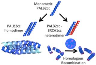 Decorative Image of how Monomeric PALB2cc forms PALB2cc homodimer and PALB2cc- BRCA1cc heterodimer