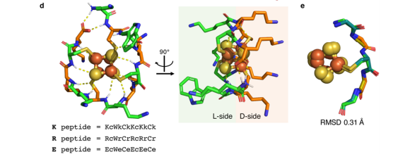 (d) Sequences and computationally determined structural models of ambidoxin peptides. (e) Portion of ambidoxin model and natural ferredoxin structures are superimposable.