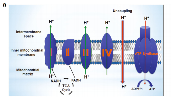 A Schematic representation showing mitochondrial uncoupling process