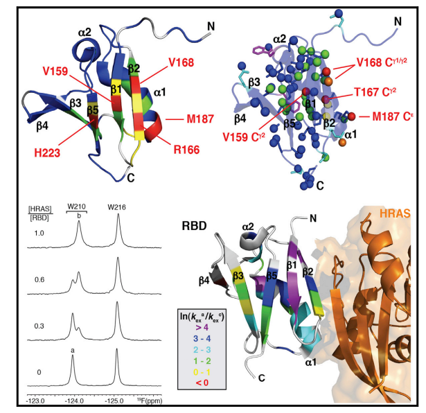 Solution NMR and X-ray crystal structures of BRAF RASbinding domain