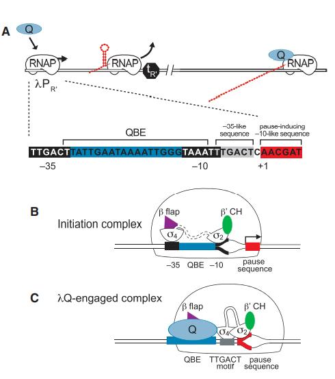 lQ Regulates Gene Expression from lPR