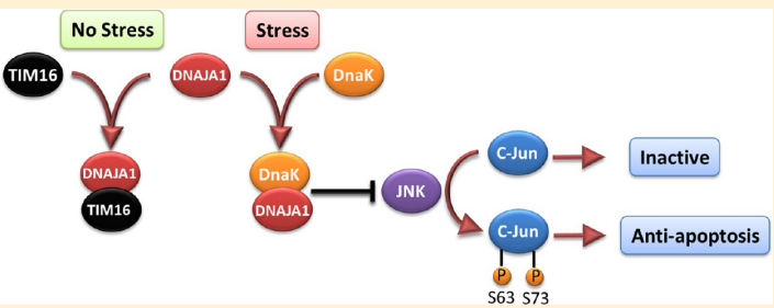 The human protein DnaJ homologue subfamily A member 1 (DNAJA1) was previously shown to be downregulated 5-fold in pancreatic cancer cells and has been targeted as a biomarker for pancreatic cancer, but little is known about the specific biological function for DNAJA1 or the other members of the DnaJ family encoded in the human genome.