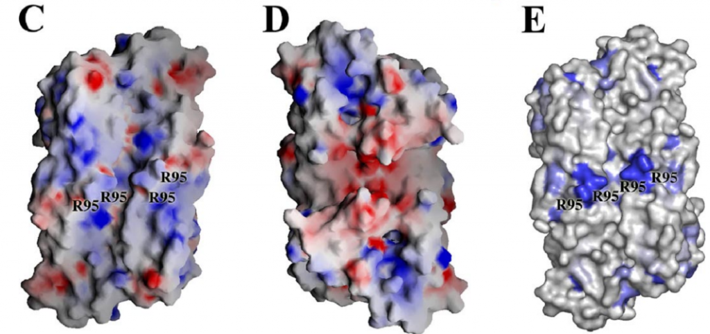 . C, molecular surface of the ORF52 tetramer, in the same view as A, colored by electrostatic potentials. D, molecular surface of the ORF52 tetramer in the same view as B. E, conserved molecular surface features of the ORF52 tetramer. A, B, and E created with Pymol (44), and C and D were created with Grasp (45).