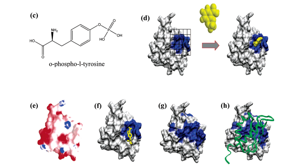 (c) Chemical structure of O-phospho-L-tyrosine shown to bind SAV1430. (d) Illustration of the use of the NMR-defined ligand binding site to direct a protein-ligand co-structure determination with AutoDock.20 SAV1430 surface where residues that incur a chemical shift change are colored blue. (e) GRASP33 electropotential surface where positive and negative regions are blue and red, respectively. (f) NMR-based ligand-defined SAV1430 binding site where residues that incur a chemical shift change upon binding pTyr are colored blue. (g) Mapping of functionally conserved residues (colored blue) identified by ConSurf22 on the SAV1430 surface. (h) Molecular model of SAV1430-SE0630 (structural homologue of SAV0936) complex determined by Hex.42 SE0630 is shown as a ribbon. Sequence and structural alignment of (i) SAV1430-pTyr binding site to the (j) Src SH2 domain's pTyr-peptide binding site (PDB ID: 1004). The sequence alignment is shown below the structure where the aligned residues are colored blue. The pTyr and pTyr-peptide ligands are colored yellow.