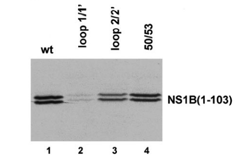 Loop 1/1', but not loop 2/2' or R50/R53, comprises part of the ISG15 protein-binding site. GST-ISG15 (1 g) was added to each of the following 35S-labeled NS1B(1-103) proteins: wild-type (Lane 1), loop 1/1' mutant (Lane 2), loop 2/2' mutant (Lane 3), or the 50/53 mutant (40,000 cpm each).