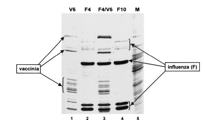Influenza virus infection does not inhibit the translation of vaccinia virus specific mRNAs