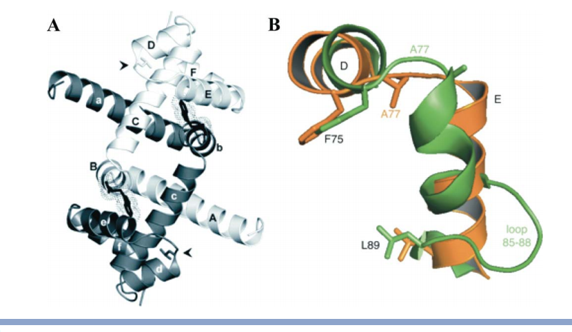 (A) The WT holoTrpR dimer crystal structure (PDB ID: 2OZ9), showing the arrangement of helices (light subunit: A–F; dark subunit: a–f) and L-tryptophan ligands (black skeletal models and dotted surfaces). Leu 75 (stick model at black arrowheads) lies within the DNA-binding helix-turn-helix region. (B) Overlay of HtH regions from each subunit in the crystal structure of the mutant L75F apoTrpR dimer (PDB ID: 3SSX), showing two conformations of helices D and E. Orange, WT-like conformation; green, distorted conformation.