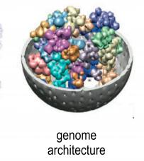 Genome architecture