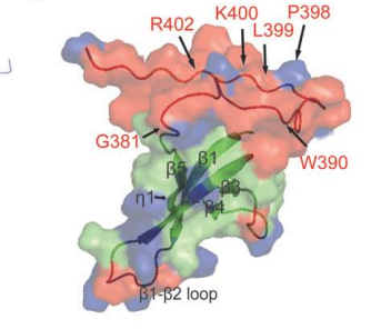 C� backbone trace, along with key structural features, of an ensemble of 20 conformers of MLV IN CTD from amino acids 329–408 (PDB ID 2M9U) is shown in this panel with the same color codes as described in panel A