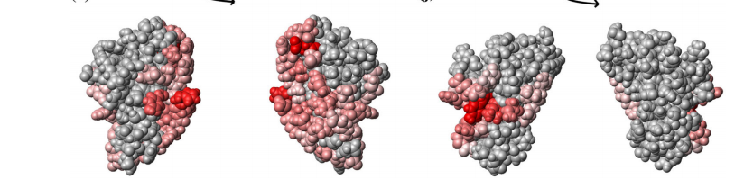 e Surface and space filling representations of the lowest-energy conformer of OBSL1(805–892) colored according to scores from PredUs prediction of regions potentially involved in protein–protein interactions; the default PredUs color scheme for residues with scores larger than zero are shown from light red to red with increasing score.f