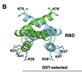 Structure of the RBD showing the amino acid residues (R37/R37, R38/R38, K41/K41, K70/K70) that were replaced with alanines
