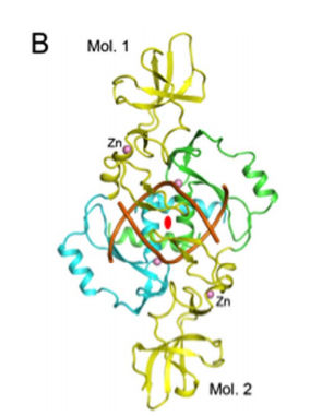 Structure of Hpy99I dimer in complex with duplex DNA [18]. The catalytic domains are colored in cyan and green, and the N-terminal segment in yellow