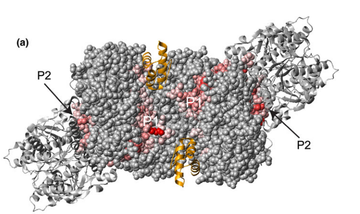 The (BchN-BchB)2 from R. capsulatus (PDB ID: 3AEK) was superimposed on the (BchN-BchB)2 unit of P. marinus DPOR complex (PDB ID: 2YNM) and is shown as a space filling representation colored according to scores from PredUs prediction for regions potentially involved in protein–protein interaction (residues with scores larger than zero are shown from light red to red with increasing score