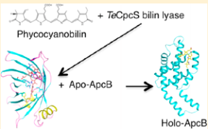 Cyanobacterial phycobiliproteins have evolved to capture light energy over most of the visible spectrum due to their bilin chromophores, which are linear tetrapyrroles that have been covalently attached by enzymes called bilin lyases