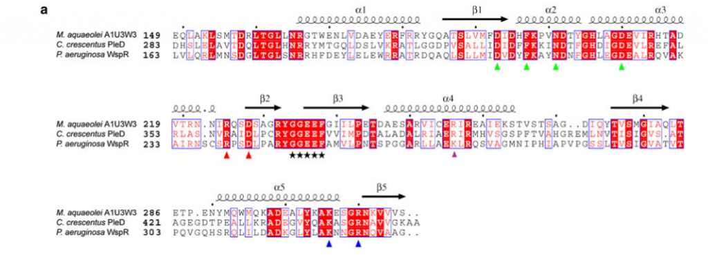 a Sequence alignment of the DGC domains of A1U3W3, PleD from C. crescentus, and WspR from P. aeruginosa by ClustalW