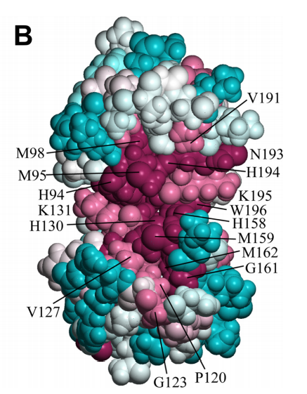 Space-filling representation of the same conformer showing the degree of residue conservation calculated with ConSurf. Conservation scores are arranged into nine groups with the corresponding colors ranging from cyan (most variable) to burgundy (most conserved). The numbering shown here is that of the UniProt entry BSU05790
