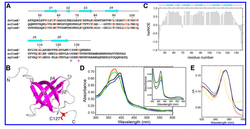 ) Structure-based sequence alignment of the soluble C-terminal domains of D. vulgaris CcmE (dvCcmE′, residues 44−137), E. coli CcmE (ecCcmE′, residues 51−159), and S. putrefaciens CcmE (spCcmE′, residues 51−161).