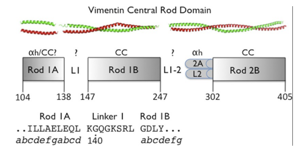 Schematic depiction of the central rod domain of vimentin with rod and linker domains indicated.