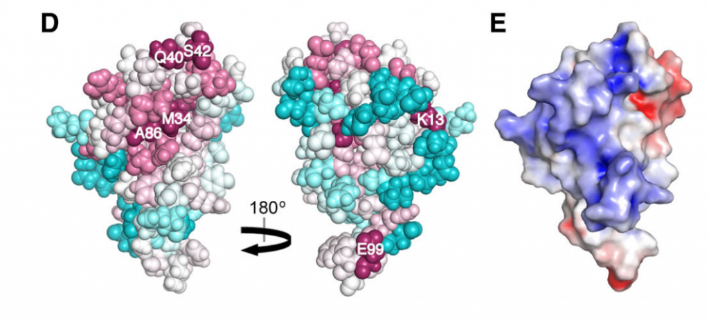 ConSurf [27, 28] image showing the conserved residues in Alr2454 (residues 3–101). Residue coloring, reflecting the degree of residue conservation over the entire PF11267 protein domain family