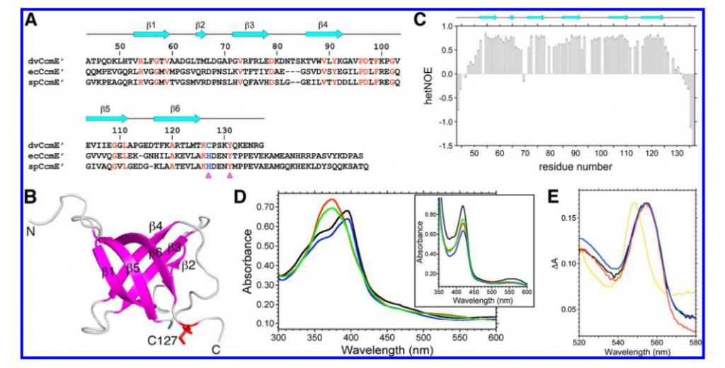 Structure-based sequence alignment of the soluble C-terminal domains of D. vulgaris CcmE