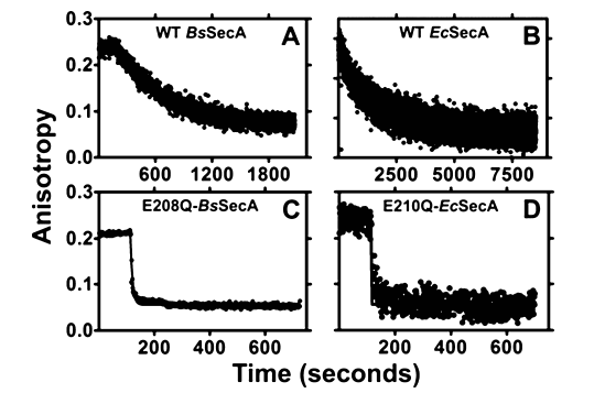 E-to-Q mutants of SecA do not kinetically trap ATP. Competitive displacement of MANT-labeled nucleotides by unlabeled nucleotides was monitored kinetically using fluorescence anisotropy spectroscopy at 352 nm in KEMT buffer