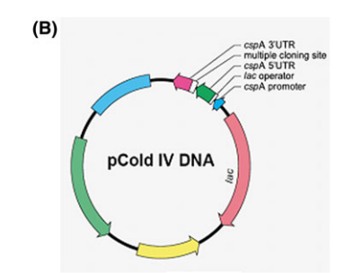 Schematic diagram of pCold IV expression vector used for OMP expression.