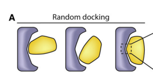 The Ankyrin Repeat protein (redesigned to become Pdar) is colored gray and its partner protein (redesigned from PH1109 to become Prb) is colored yellow. In (A), the surfaces of each protein are first matched by general shape complementarity and local docking. Promising rigid-body orientations are used in an attempt to place a central hydrogen-bonding tyrosine or tryptophan motif, followed by local design to enforce hydrophobic packing around the motif.