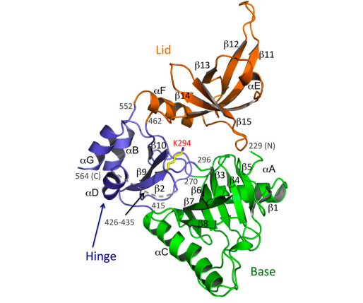 Structure of the hGTase domain of hCE. hGTase has an ATP-grasp fold domain with two subdomains (green and blue) and an OB-fold domain (orange).