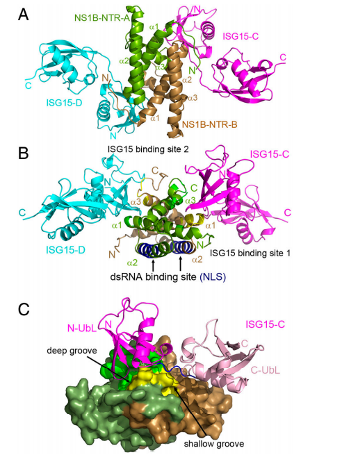 Each NS1B-NTR homodimer binds two ISG15 molecules. (A) Overview of the ISG15: NS1B-NTR complex. The complex structure is a hetero-tetramer composed of two NS1B-NTR molecules (NS1B-NTR-A, green; NS1B-NTR-B, brown), which form an interwoven dimer, and two ISG15 molecules (ISG15-C, magenta; ISG15-D, cyan).