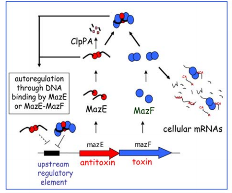A schematic model for the SPP system in E. coli. In the left panel, the regulatory mechanism for the MazE-MazF toxin-antitoxin (TA) system is shown.