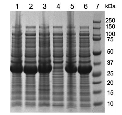 Analysis of the overexpression of SCR1, SCR2, and SCR3. The proteins were separated on a 12% SDS-polyacrylamide gel and stained with Coomassie Brilliant Blue G-250.