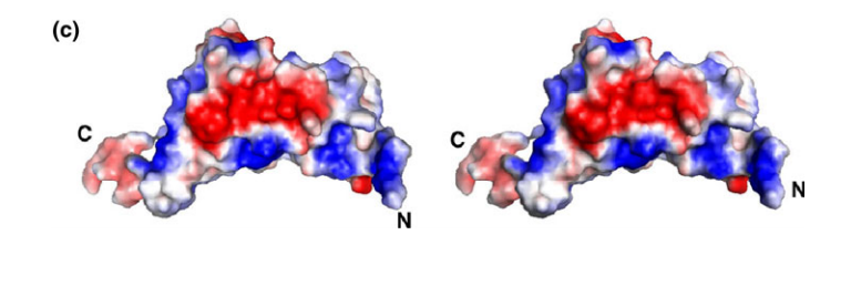 Surface representation of the lipoprotein-17 domain of Q9PRA0_UREPA