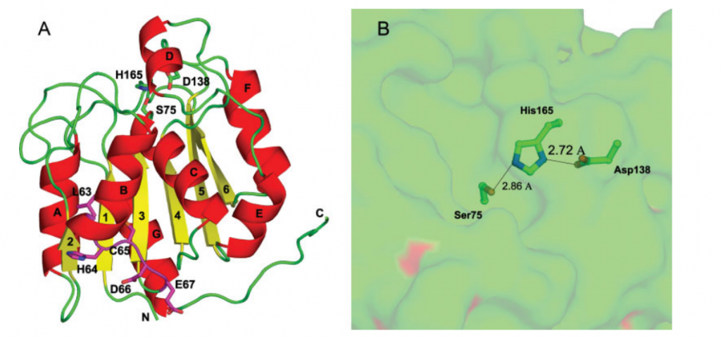 Structure of RBBP9. A: Ribbon representation of the RBBP9 structure. The secondary structure is depicted as red (a-helixes), yellow (b-strands), and green (loops). The LxCxE residues are shown in magenta. B: The putative hydrolase active site of RBBP9. Molecular surface of RBBP9 is shown in green, and the catalytic triad Ser-His-Asp is shown as stick models.