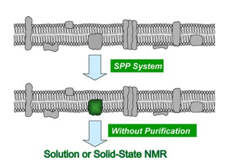 Schematic representation of the concept of SPP production of a membrane protein. Only a single targeted membrane protein is produced, allowing specific enrichment with isotopes (e.g., 13C, 15N, etc.), as indicated in green