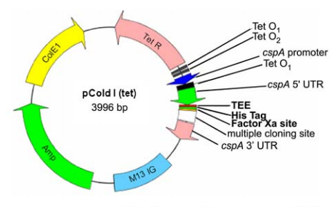 A pColdI(tet) vector map where the region shown in bold containing TEE (translation enhancing element), His Tag, and Factor Xa vary among the different pCold(tet) vectors