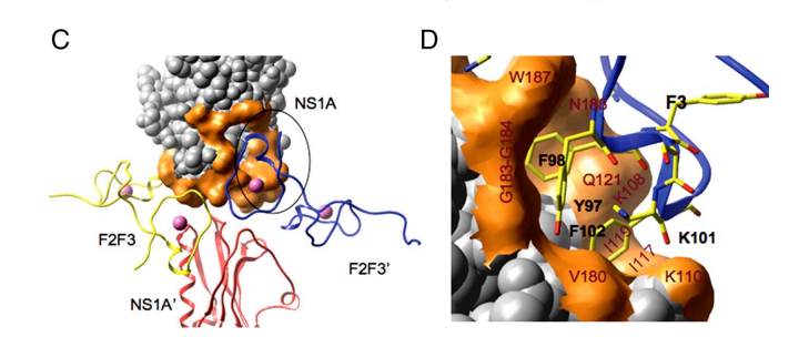 C) F3-binding pocket on NS1A (85-215). A hydrophobic pocket on the NS1A surface binds to the F3 Zn finger of F2F3. Both chains of NS1A in the head-to-head dimer interact with each F2F3 molecule. (D) Expanded view of the F3-binding pocket. The NS1A amino acid residues labeled in red interact with the aromatic side chains of residues Y97, F98, and F102 of the F3 Zn finger of F2F3.