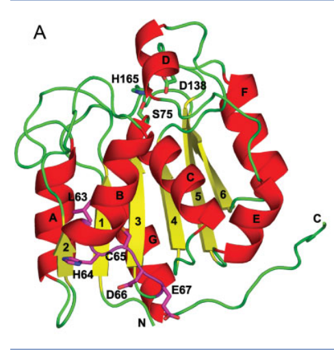 Structure of RBBP9. A: Ribbon representation of the RBBP9 structure. The secondary structure is depicted as red (a-helixes), yellow (b-strands), and green (loops). The LxCxE residues are shown in magenta.