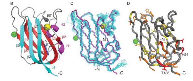 B: Ribbon representation of X-ray structure of HSPC034, residues 4–139. The Ca12 ion is shown in yellow and a Sm13 ion in green. C: Backbone atoms for 20 NMR structures optimally superimposed with respect the N, Ca, and C0 coordinates of the X-ray structure residues 6–138. NMR residues 2–141 are shown. D: NOE violations indicated on X-ray structure. Red violations are >2 A˚ , orange are 1–2 A˚ , and yellow are 0.5–1 A˚ . Violations are not show for residues 1–3 and 140–141. Figures (B–D) were generated using PyMOL (DeLano Scientific)