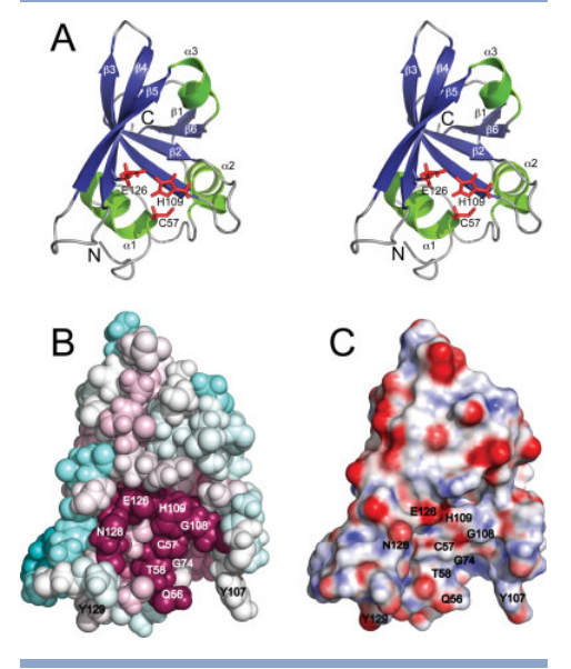 (A) Stereoview of the ribbon representation of the lowest energy conformer (lowest CNS energy) from the ensemble of deposited solution NMR structures of full length SSP0609 (PDB_ID: 2K3A). Only residues 50–155 are shown. The secondary structural elements are labeled and the triad sidechain residues (Cys57, His109, Glu126) are highlighted as red sticks. (B) ConSurf images of SSP0609 for identical size and orientation as (A) ConSurf analysis was conducted for the entire CHAP protein domain family, standard ConSurf residue coloring reflecting the degree of residue conservation over the entire family were used (color scheme: magenta, highly conserved; cyan, variable). (C) Electrostatic potential surface diagrams for SSP0609 shown in the same orientation as (A) and (B).