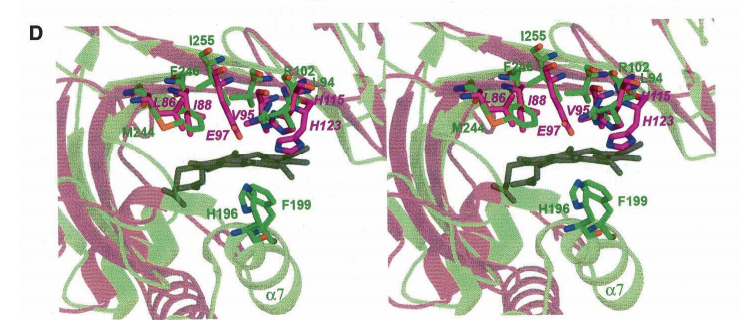 . (D) A close up of the heme binding site in Y. enterocolitica HemS (in green) and comparison with the equivalent region in AGR_C_4470p (in magenta). The proximal ligand in HemS does not have a counterpart in AGR_C_4470p.