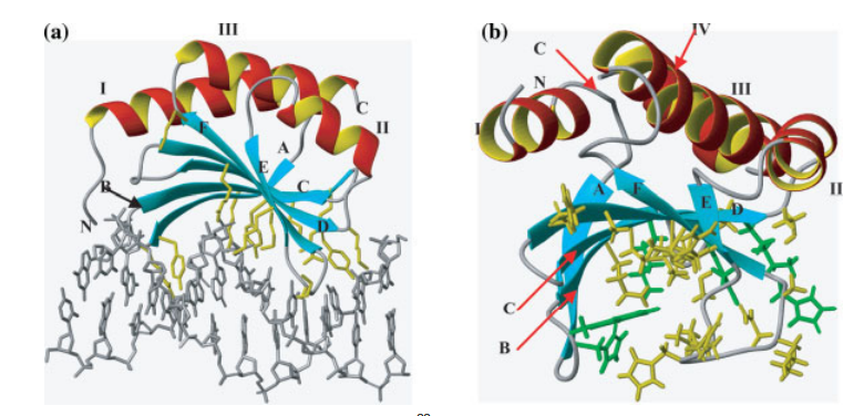 (a) Model of the MotCF-DNA complex.22 Residues which are putatively mediating specific DNA binding (Lys 129, Lys 130, Tyr 134, Arg 135, Lys 144, Arg 145, Arg 150, Arg 161, Phe 163, Tyr 165, Lys 166, Lys 183, Lys 186, Tyr 191, Lys 195) are shown in yellow. (b) Ribbon drawing of the NMR structure of protein yjbR in which conserved residues of the exposed b-sheet are highlighted.